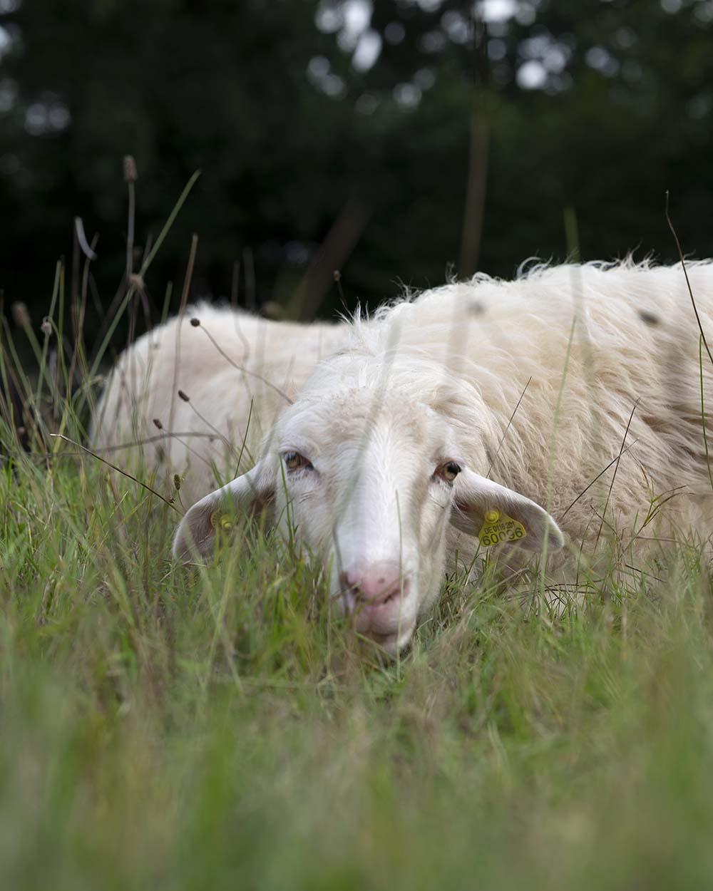 Ein Schaf liegt auf der Schwafweide im Gras