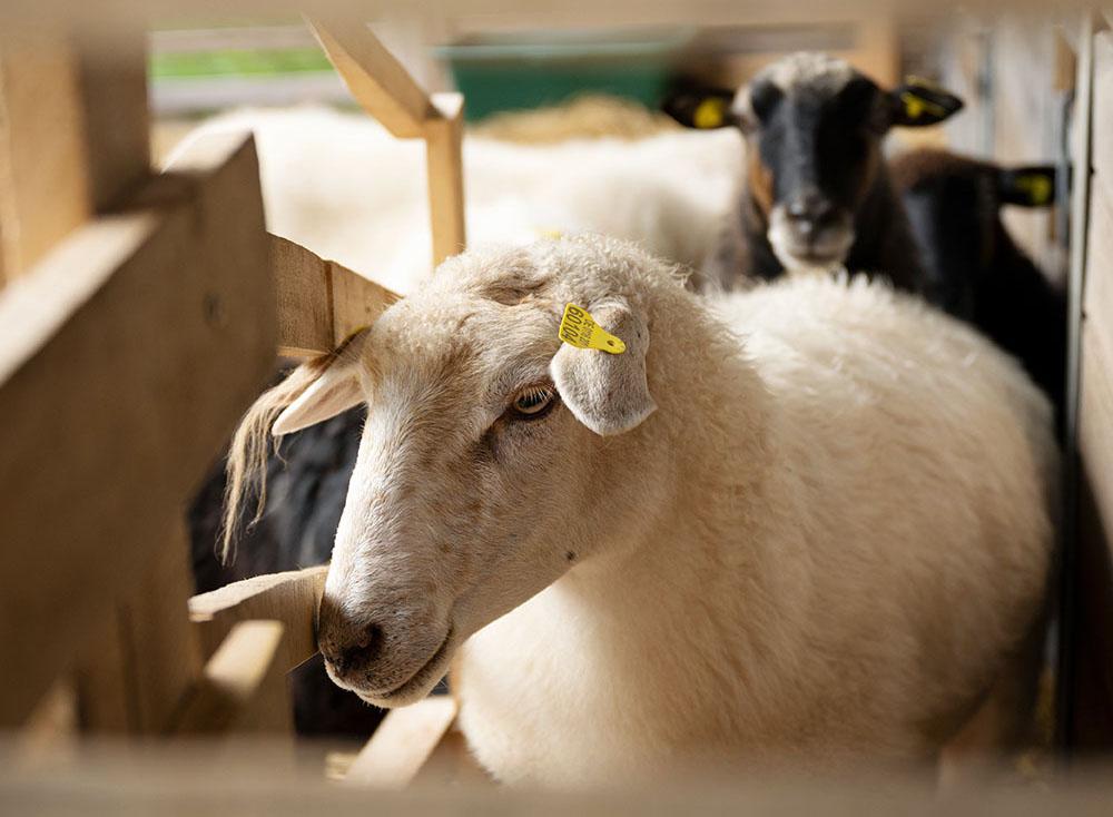 Ein Schaf wartet vor dem Melken auf der Treppe des Melkstands