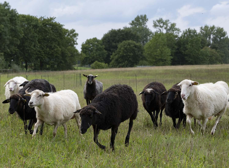 eine Herde Krainer Milchschafe in der Milchscäferei Amalia