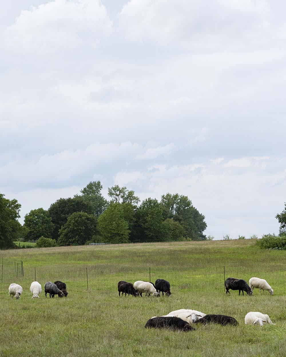 Schafe auf der Schwafweide