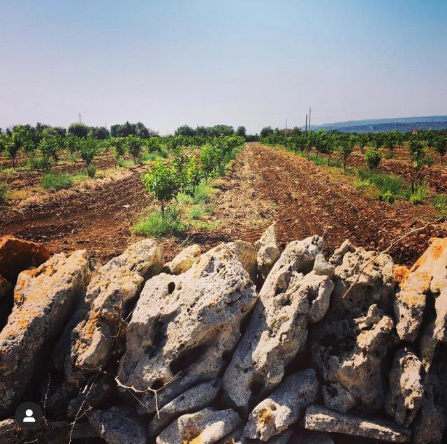 Blick über die Felder der Zitrus-Plantage in Sizilien