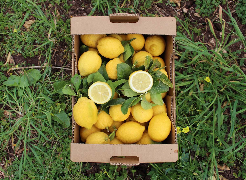 eine Kiste mit frisch gepflückten Zitronen steht am Boden der Felder in Sizilien