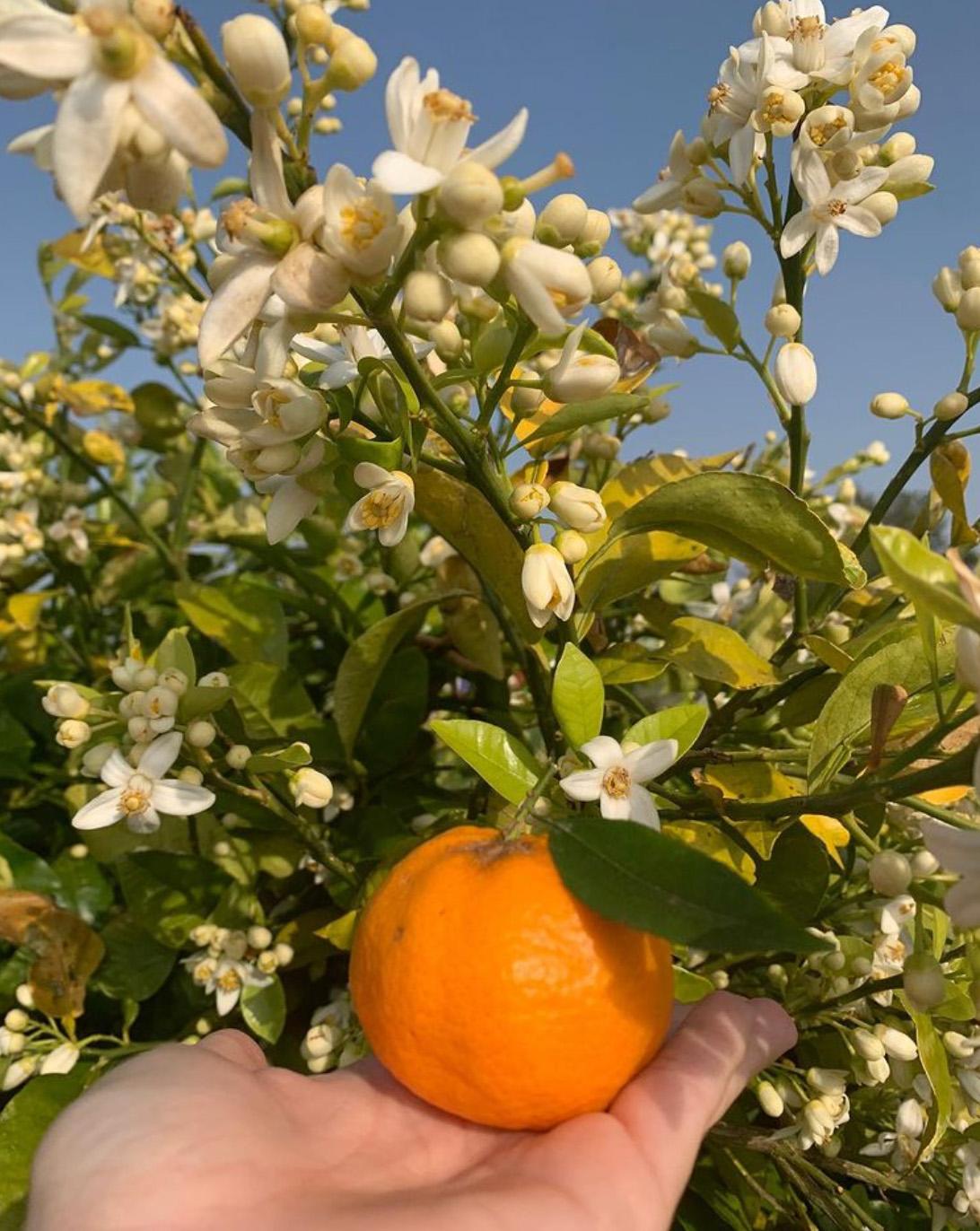 Renato hält eine Mandarine am Baum in die Kamera.