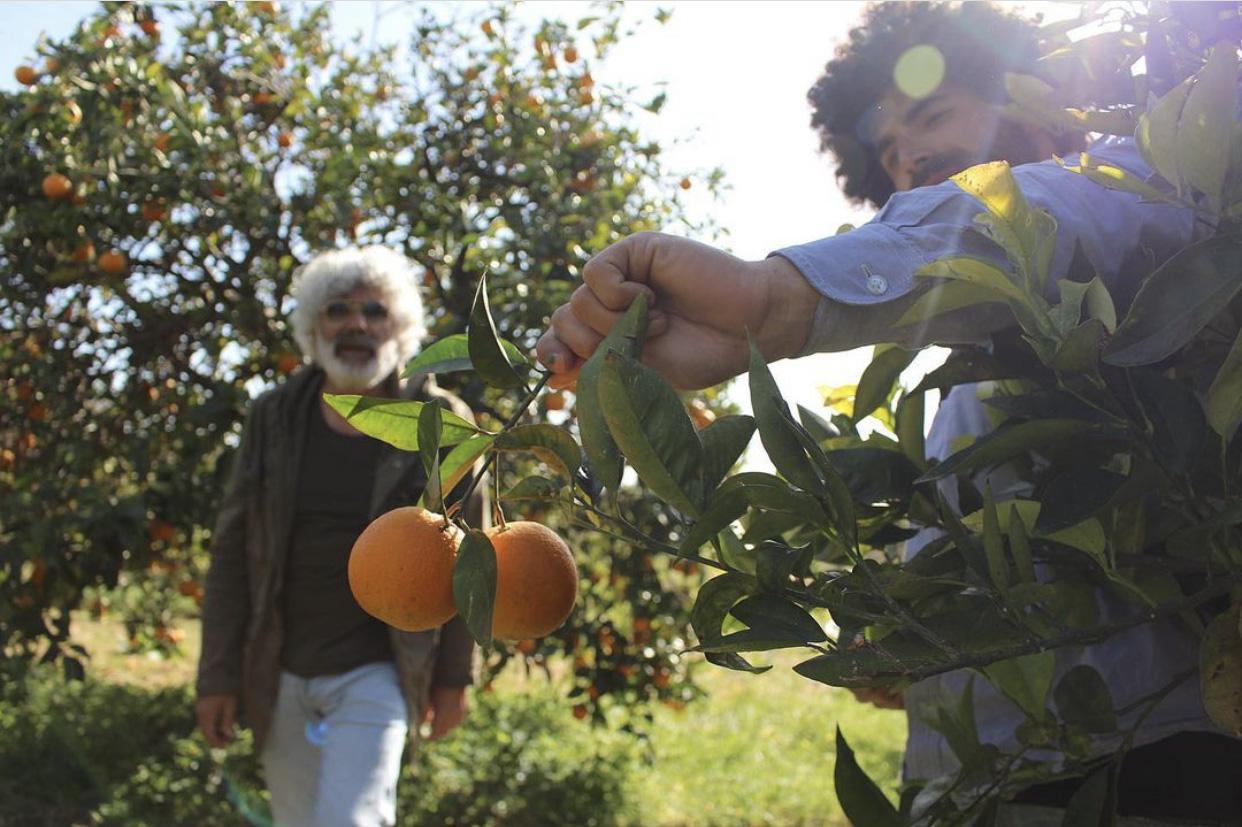 Renato und Angelo Gibilisco auf dem Feld. Renato erntet gerade Mandarinen.