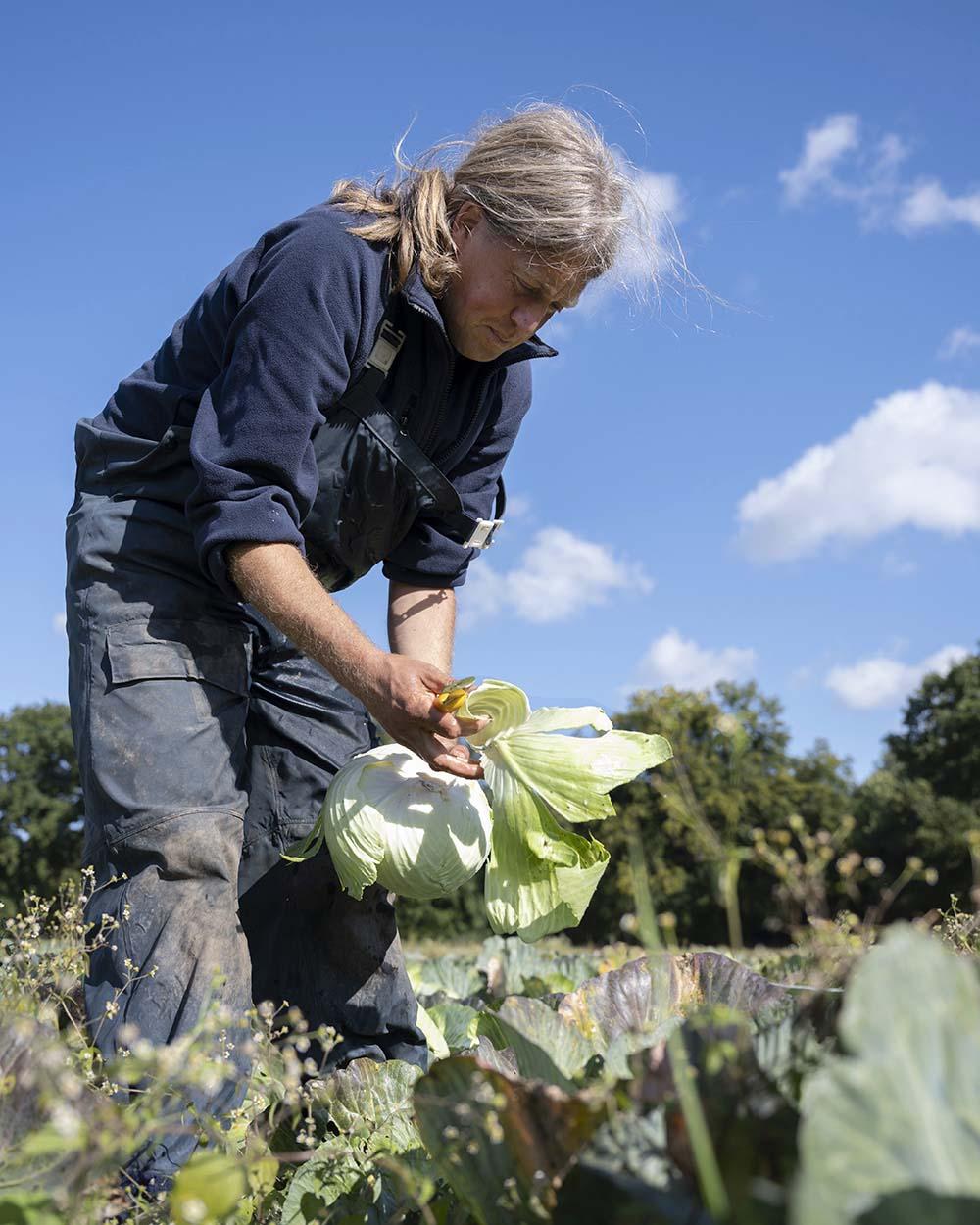 Ein Landwirt erntet im September Weißkohl auf dem Feld