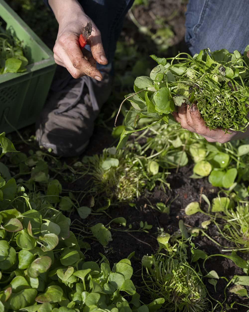 Nahaufnahme auf Jennis Hände: Sie schneidet einige Pflanzen Salat ab.