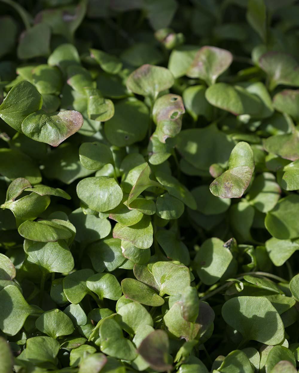 Zoom auf einige Pflanzen Postelein.