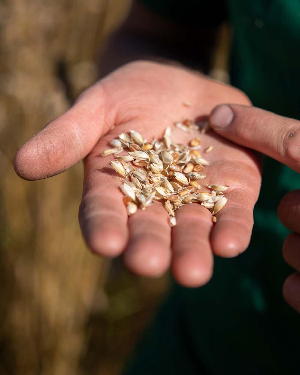 Ein Landwrit zeigt eine Handvoll frischen Weizen.