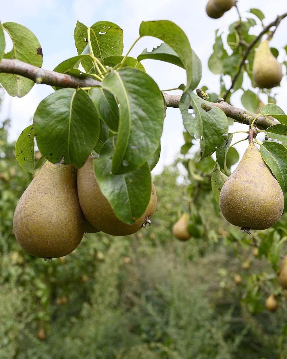 Birnen hängen am Baum eines Bio-Hofs. Dort holen wir gern unser frisches Obst.