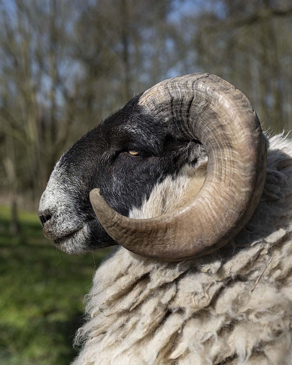 Porträtaufnahme eines Schafs der Rasse Scottish Black Face