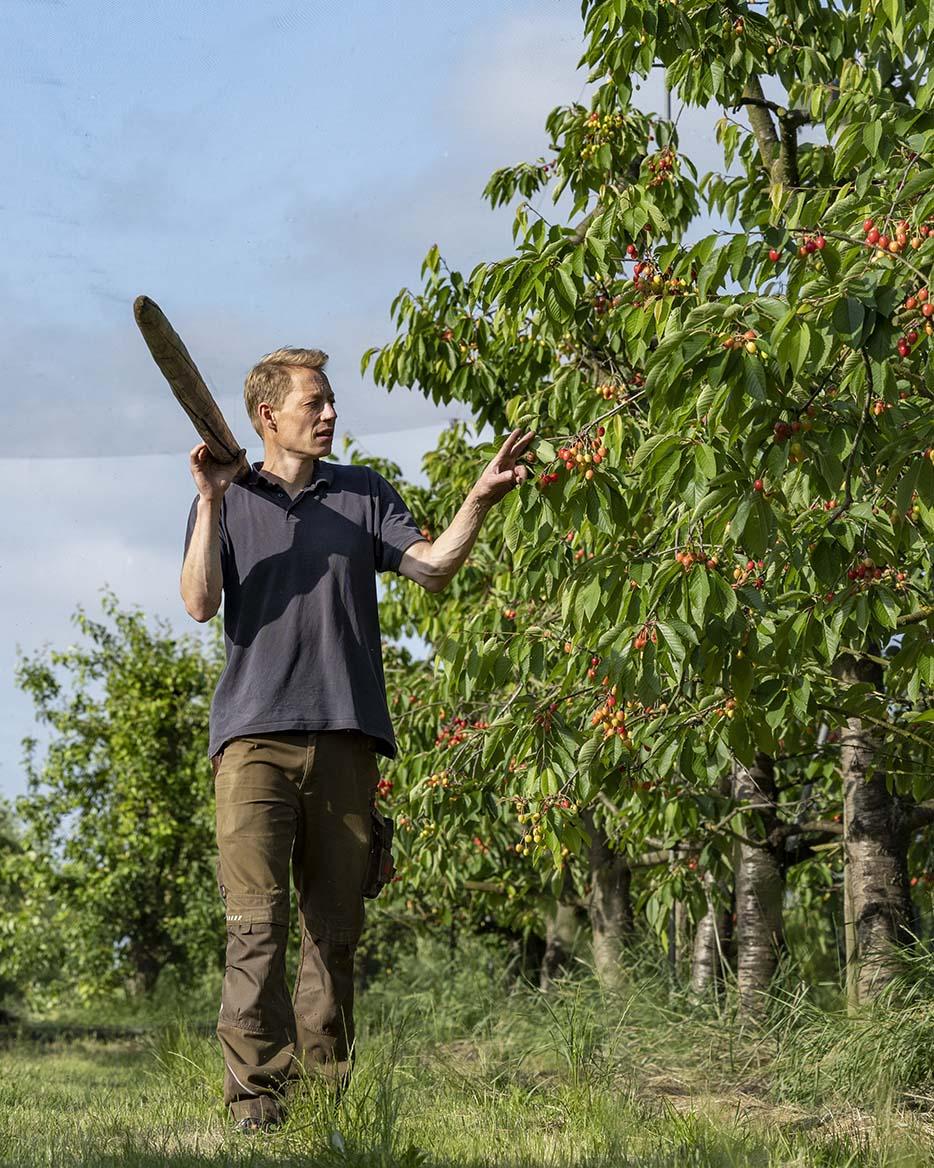 Cord Lefers baut im Alten Land Bio-Kirschen an. Hier steht er auf dem Feld und prüft an einem Baum, ie reif die Kirschen bereits sind.