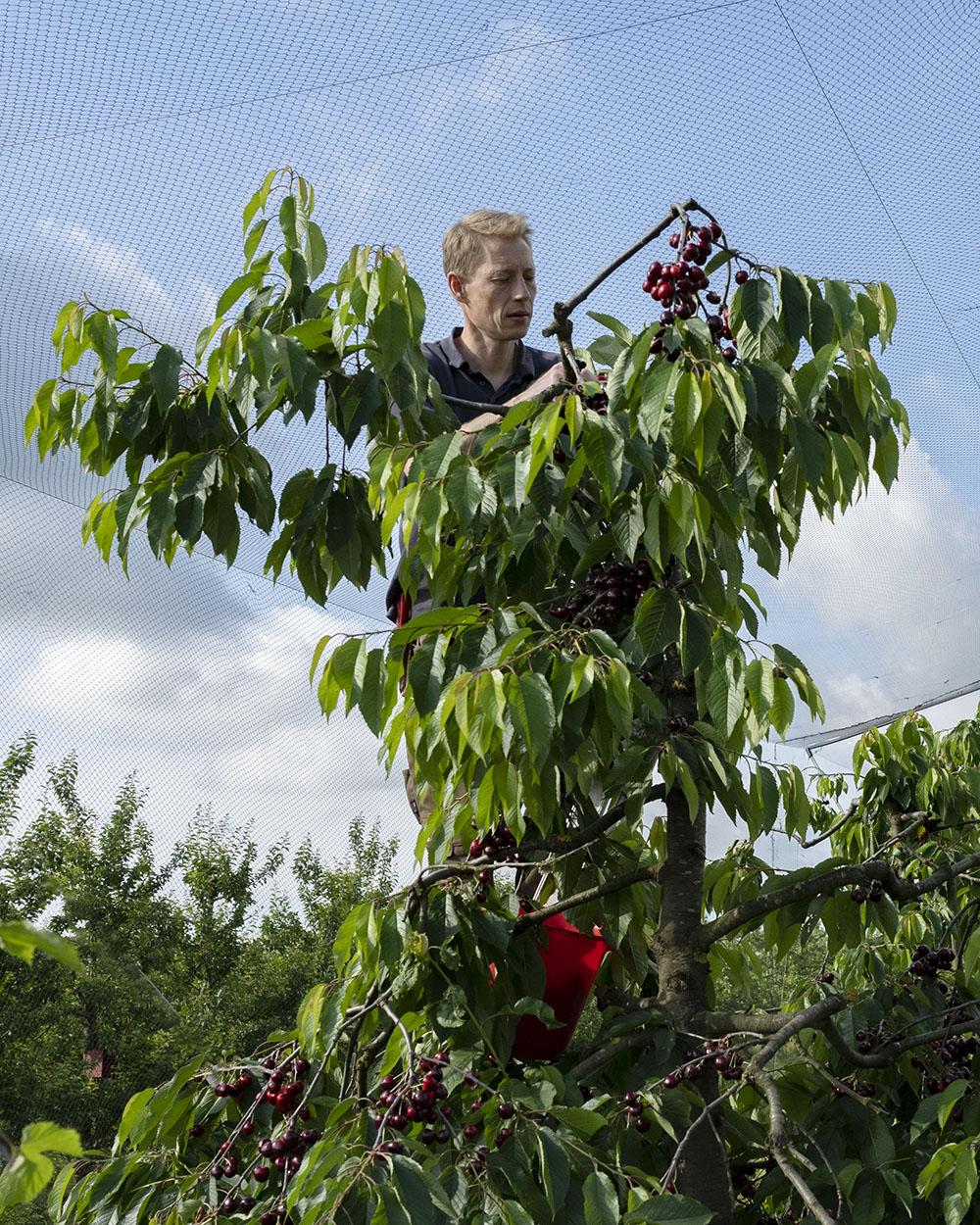 Cord Lefers ist Obstbauer im Alten Land. Nachdem er am Morgen die Netze über den Kirsch-Bäumen gespannt hat, ist er nun mit einer Leiter auf einen Baum geklettert und pflückt seine Bio-Kirschen.