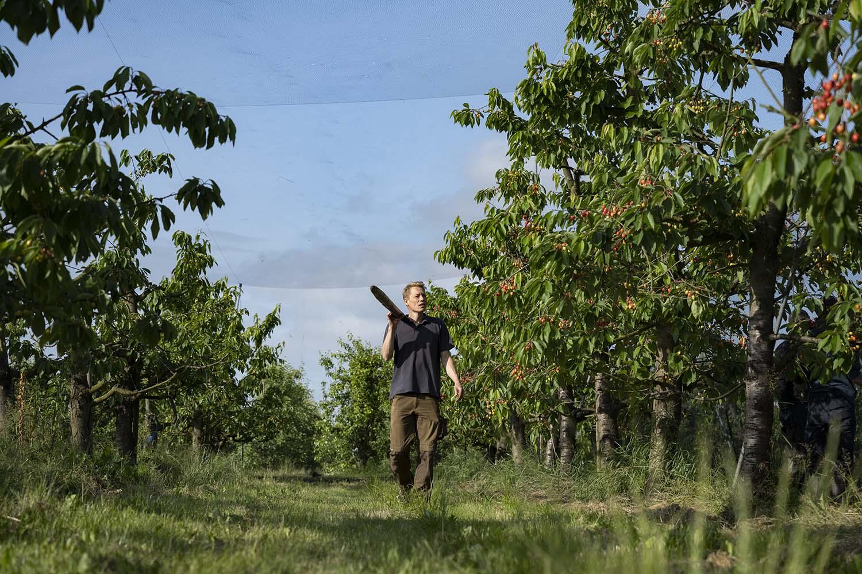 Die Netze sind über den Kirschbäumen gespannt. Cord Lefers, der den Familienbetrieb 2017 auf biologische Landwirtschaft umgestellt hat, kommt mit dem Stück über der Schulter vom hinteren Teil des Feldes auf uns zu. Gleich probiert er eine Kirsche und testet, ob sie bereits reif für die Ernte ist.