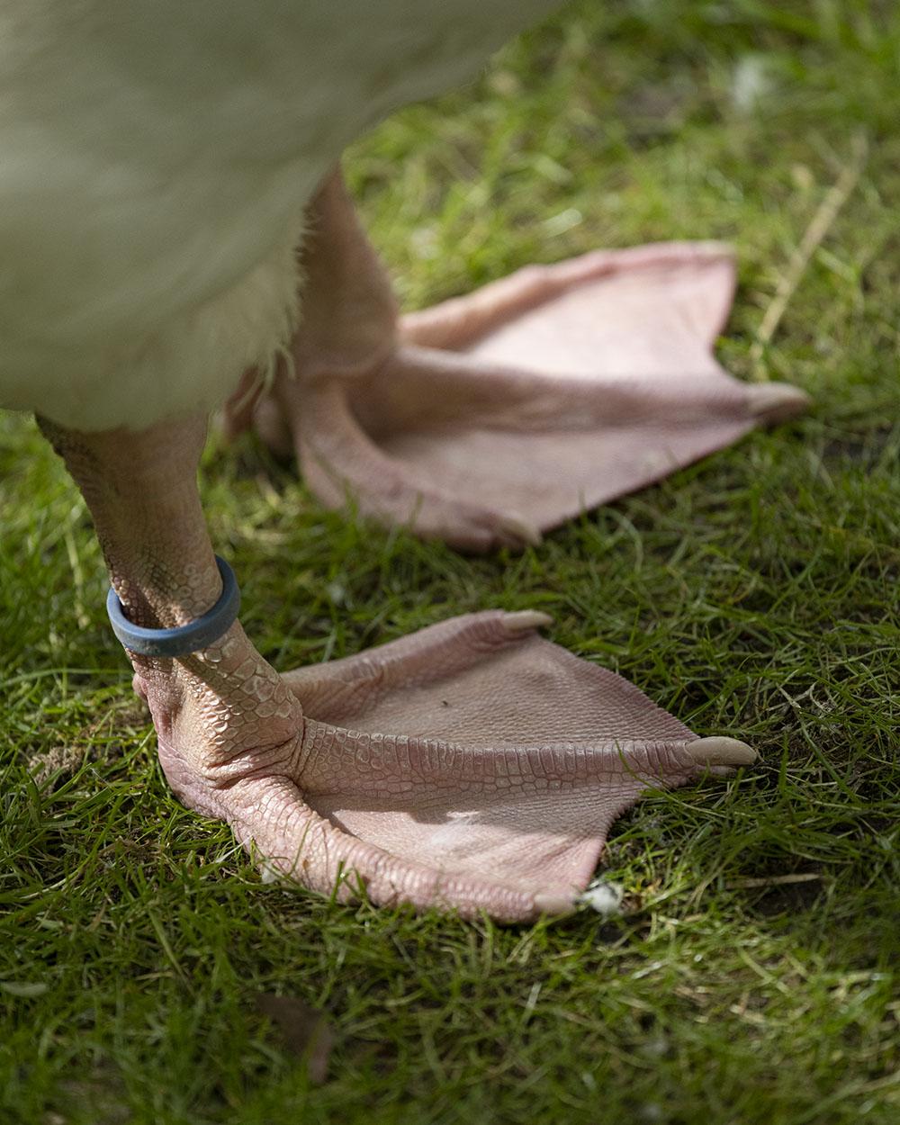 Diepholzer Gänse laufen im Tierpark Arche Warder frei uf dem Gelände. Hier haben wir die Füße einer Gans in Nahaufnahme fotografiert.