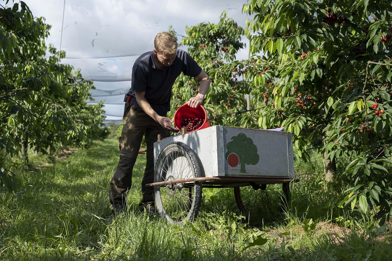 Das Foto zeigt Cord Leferss neben dem Holzwagen und mit einem weit aufgefassten Hintergrund, der die Weite der Obstplantage verdeutlicht. Cord schüttet gerade die frisch geernteten Bio-Kirschen in eine Palette, die im Wageen steht.