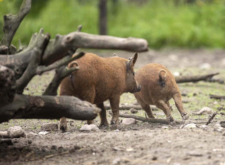 Das Foto zeigt zwei spielende junge Schweine der Gattung Mangalitza Wollschwein auf dem Gelände des Tierparks Arche Warder.