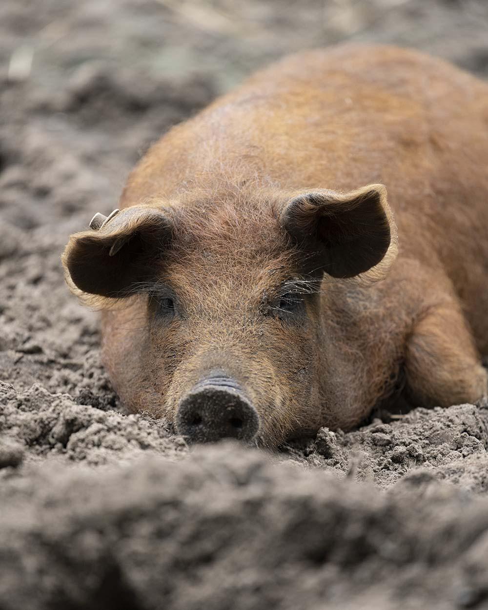 Ein junges Mangalitza Wollschwein liegt im Schlamm.