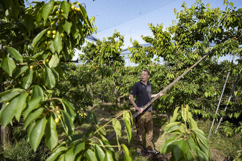 Während der Ernte der Kirschen steht Cord Lefers inmitten vieler Kirschbäume. Mit einem großen Holzstab hat er gerade das Netz über die Bäume gezogen, um die Früchte gegen den Appetit der Vögel zu schützen.
