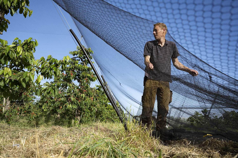 Cord Lefers spannt die Netze aus, die die Kirschbäumeauf seine Obsthof vor dem Appetit der Vögel schützen sollen.