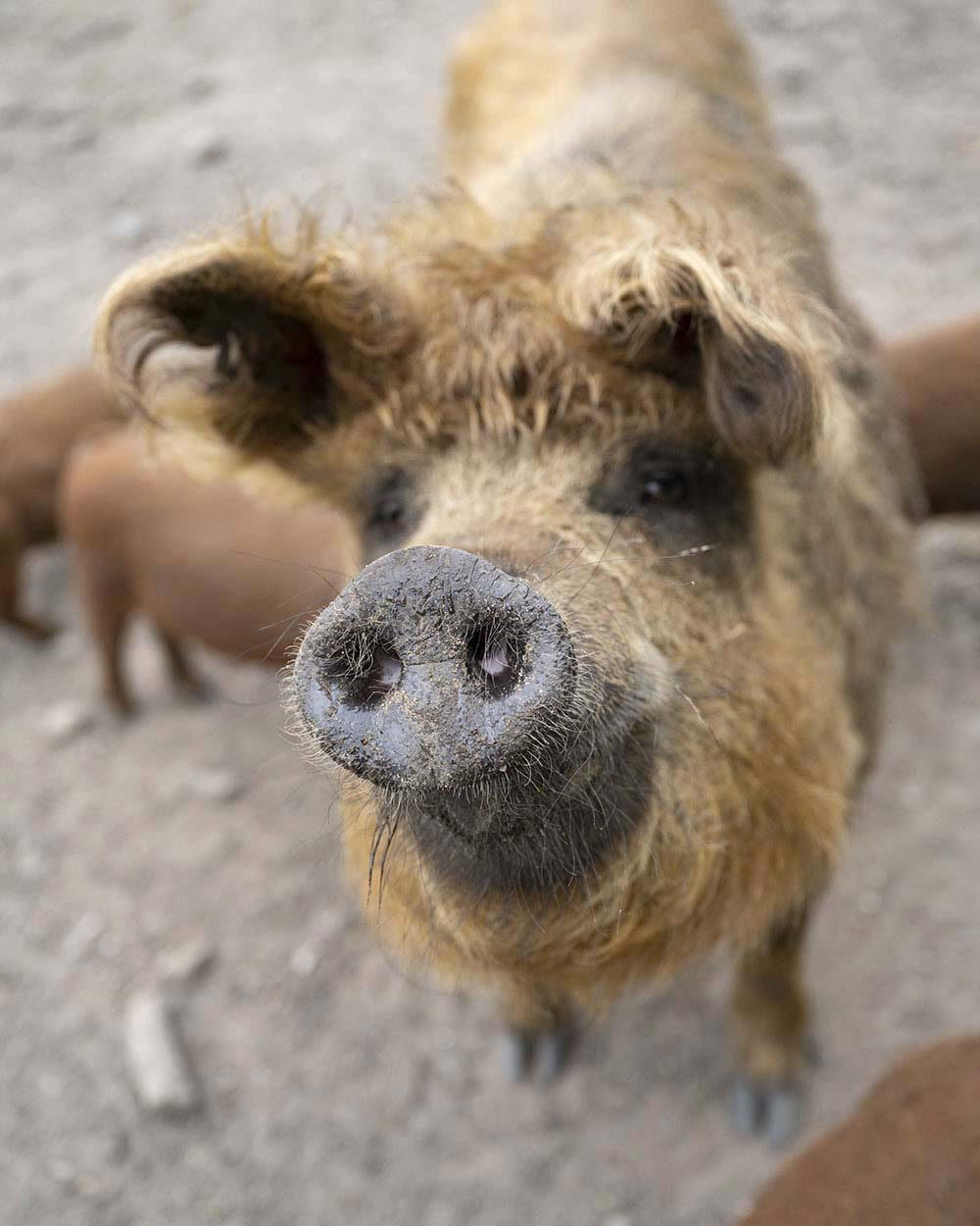 Ein weibliches Mangalitza Wollschwein in der Nahaufname. Die Sau säugt gerade ihren Nachwuchs.