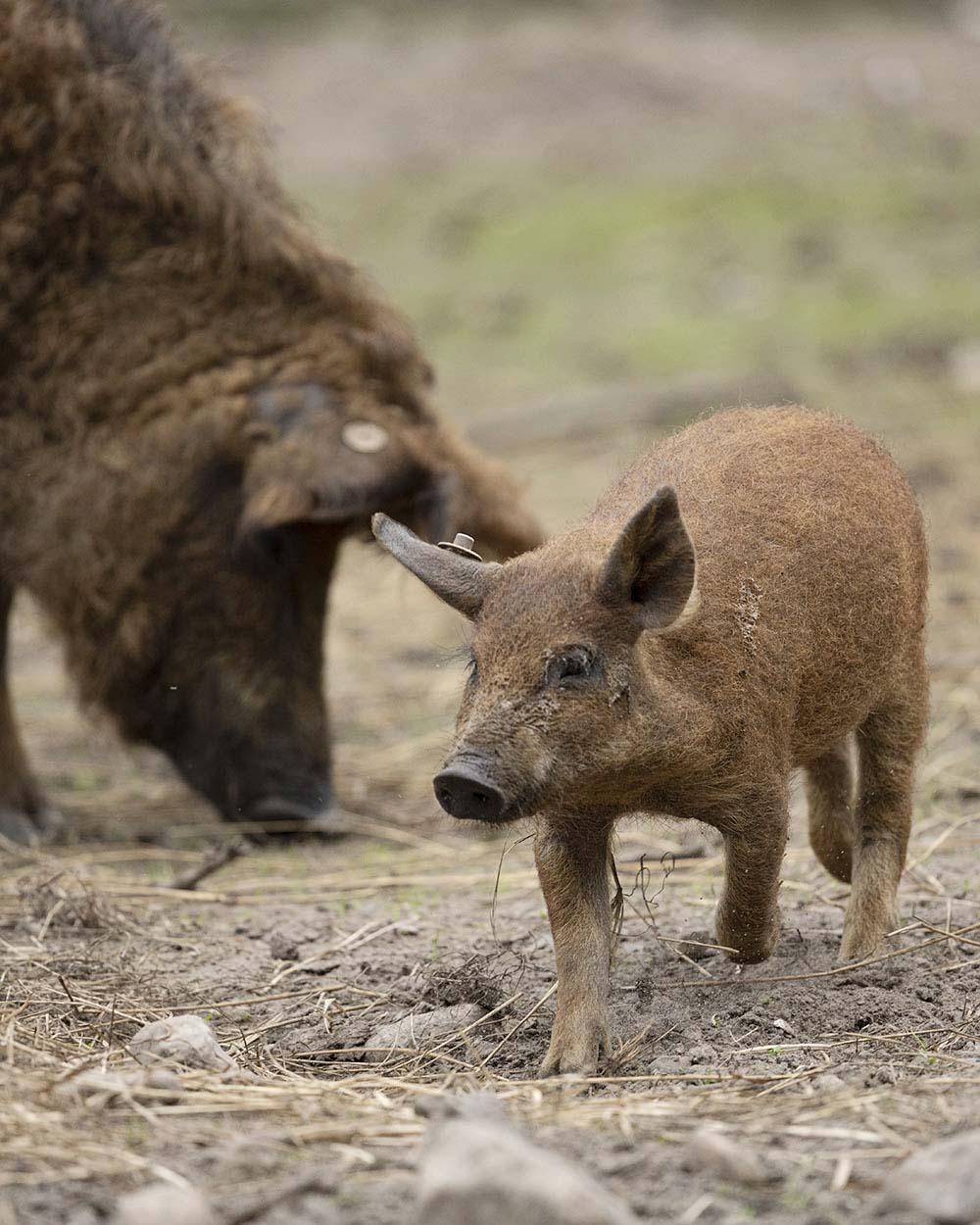 Ein junges Mangalitza Wollschwein, zusammen mit seiner Mutter, aufgenommen im Tierpark Arche Warder.