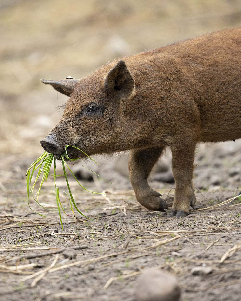 Ein junges Mangalitza Wollschwein frisst ein Büschel Gras.