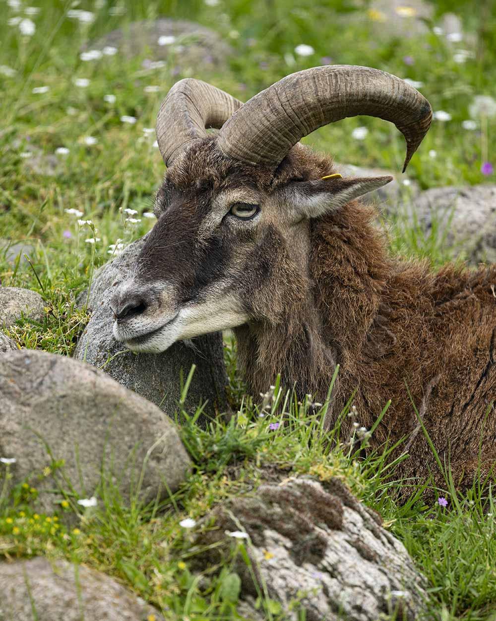 Ein Mufflon, das im Tierpark Arche Warder lebt, liegt auf der Weide.
