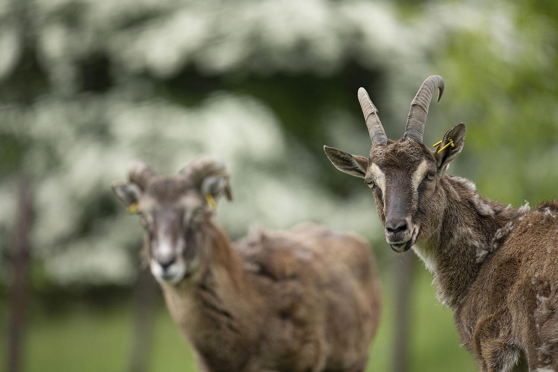 Zwei Mufflons, aufgenommen im Tierpark Arche Warder.