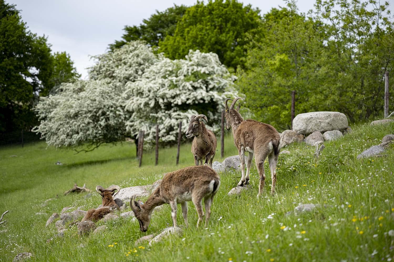 Eine Herde Mufflons steht auf einer Weide im Tierpark Arche Warder.