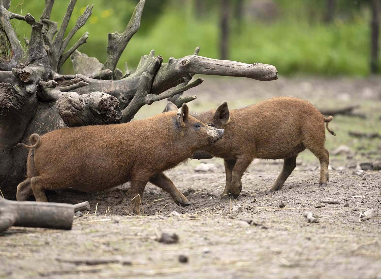 Die Roten Mangalitza Wollschweine haben im Tierpark Arche Warder Nachwuchs bekommen. Hier spielen zwei Jungtiere miteinander.