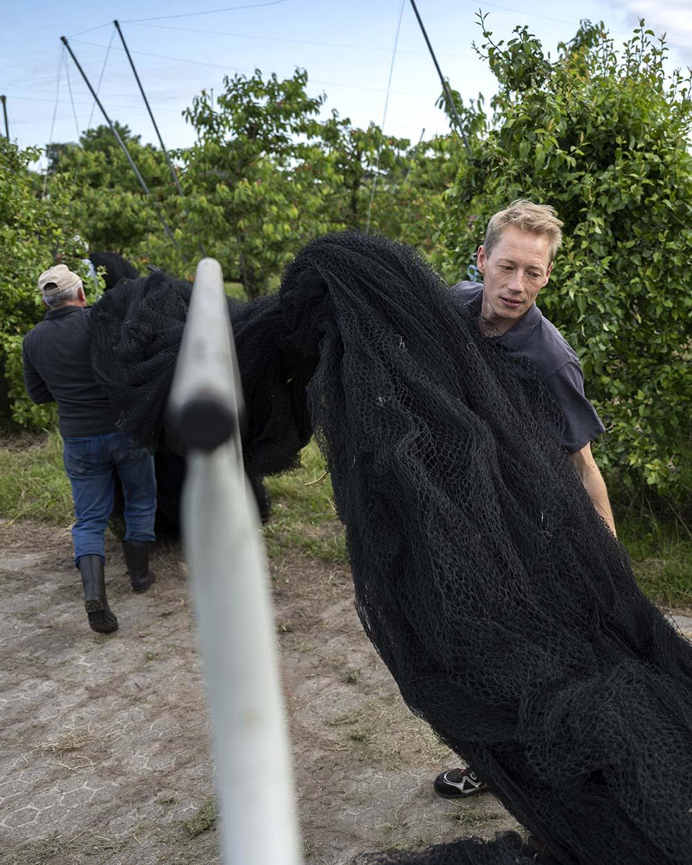 Kirsch-Ernte auf dem Obsthof Lefers: Cord, der den Familienbetrieb in achter Generation leitet, rollt die Netze aus, die gleich die Kirschbäume bedecken sollen.