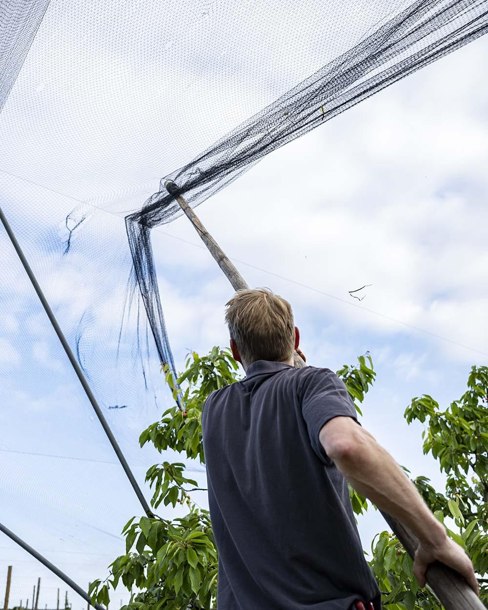 Cord Lefers vom Obsthof Lefers im Alten Land hebt das Netz in de Luft und zieht es nach und nach ober die Kirschbäume.