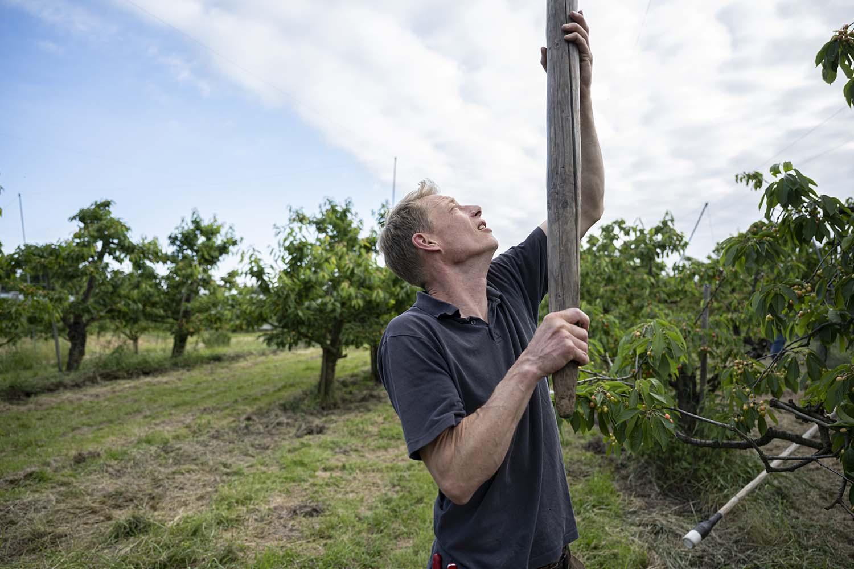 Mit einem Holzstb hebt Cord Lefers das Netz über die Kirschbäume.