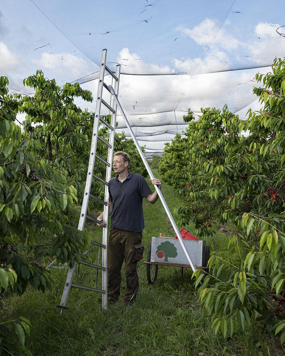 Cord klappt die Leiter aus und stellt sie neben den Baum. Gleich kletert er hinauf, um Kirschen vom Baum zu ernten.
