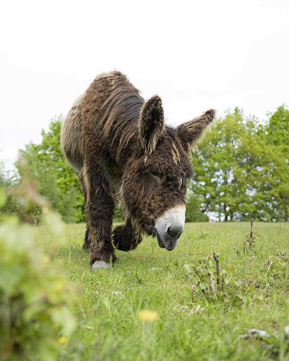 Der Poitou-Esel noch einmal in der Nahaufnahme.