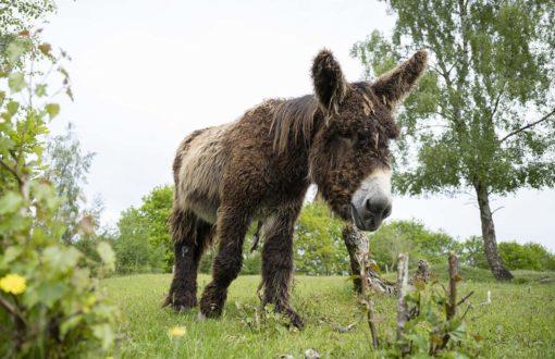 Poitou-Eseö Hengst auf der Weide im Tierpark Arche Warder.