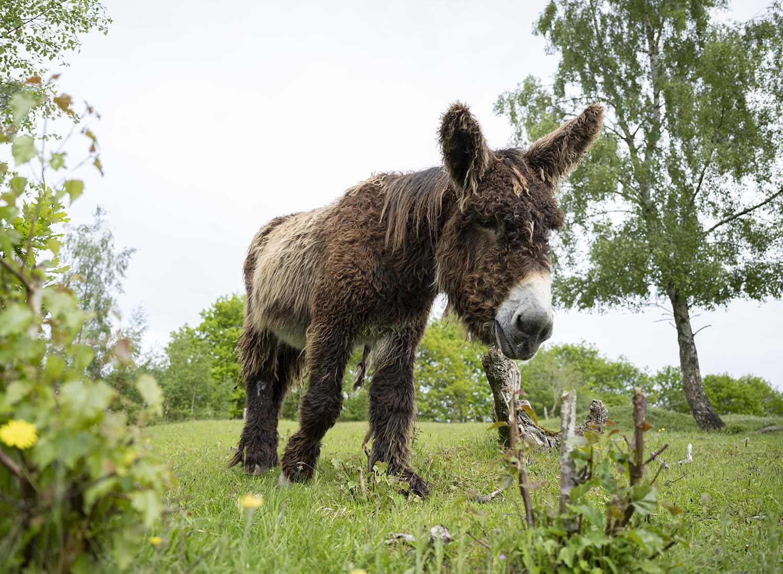 in Poitou-Esel-Hengst läuft auf der Weide des Tierpark Arche Warder auf die Kamera zu.