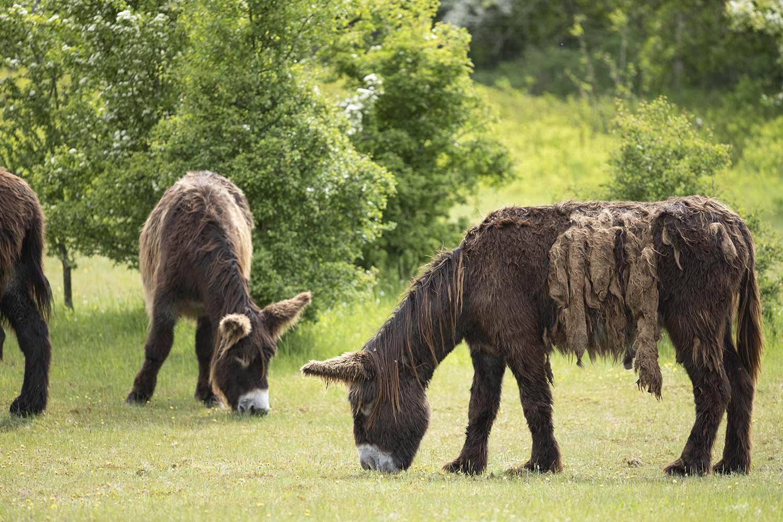 Nahaufnahme er Stute der Gattung Poitou Esel. Zu sehen ist das zottelige Fell, das für diese Rasse typisch ist.
