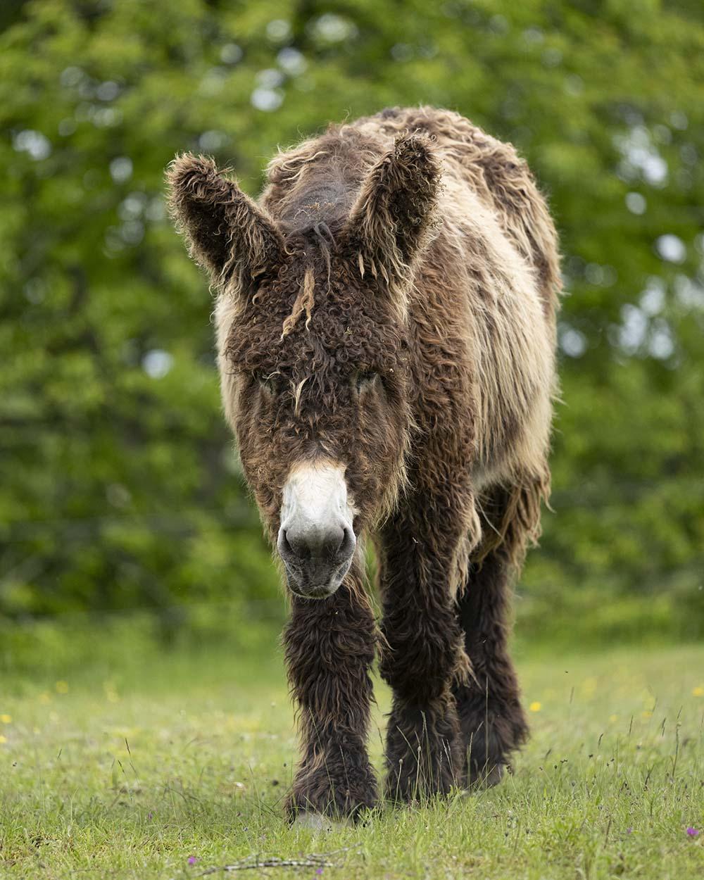 Ein Poitou-Esel auf der Weide, aufgenommen im Tierpark Arche Warder.