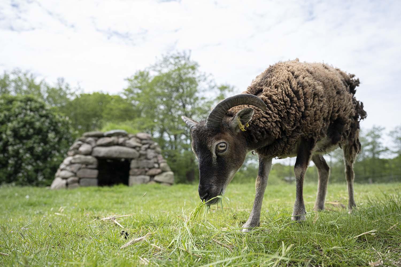 Das Soay Schaf grast auf der Weide im Tierpark Arche Warder.