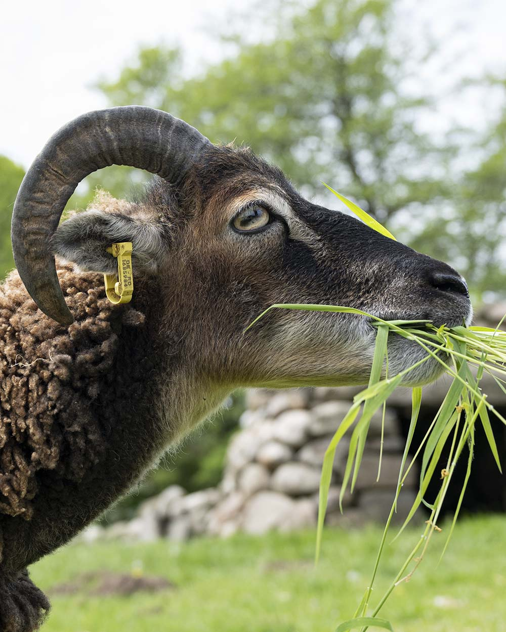 Der Kopf eines Soay Schaf im Tierpark Arche Warder. Das Schaf frisst gerade ein Büschel Gras.