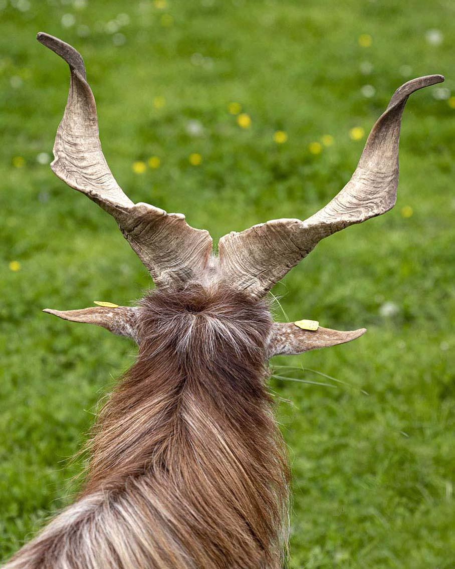 Die Hörner einer Schraubenhörnigen Langhaarziege, fotografiert in Nahafnahme und von hinten.
