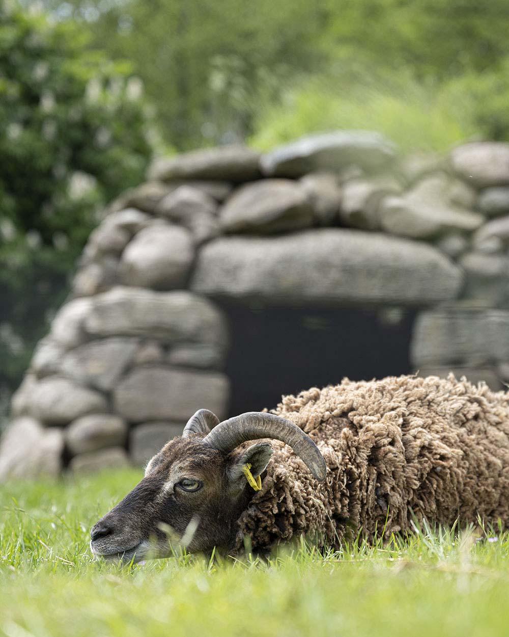 Ein Soay Schaf liegt auf der Weide. Das Foto ist entstanden im Tierpark Arche Warder.