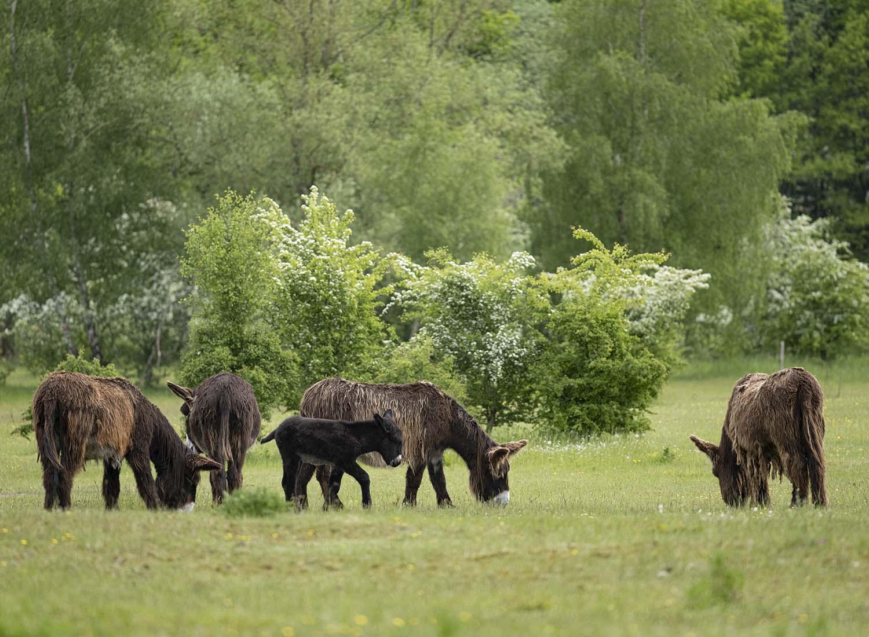 Ein Esel Fohlen der Gattung Poitou Esel steht zusammen mit mehreren erwachsenen Tieren auf der Weide im Tierpark Arche Warder.