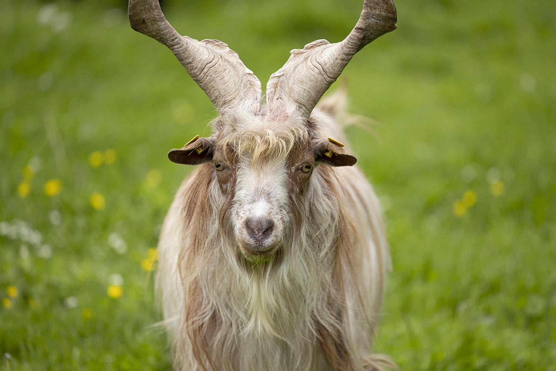 Nahaufnahme des Gesichts einer Ziege der Gattung Schraubenhörnige Langhaarziege. Die Tiere sind in ihrem Bestand gefährdet und leben in einer Herde im Tierpark Arche Warder.