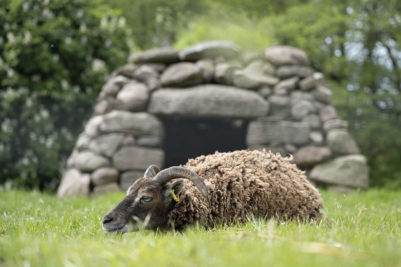Ein Soay Schaf liegt auf der Weide im Tierpark Arche Warder. Die Tiere scheren sich selbst, indem sie ihr Fell an Zäunen abstreifen.