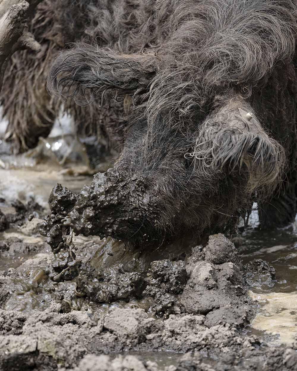 Im Tierpark Arche Warder suhlt ein Schwein im Schlamm.