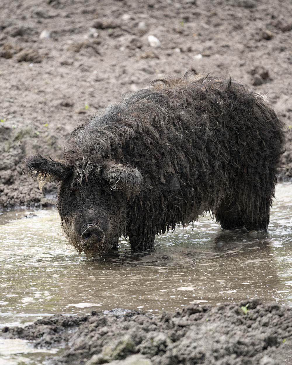 Ein Schwein suhlt im Tierpark Arche Warder im Wasser und Schlamm.