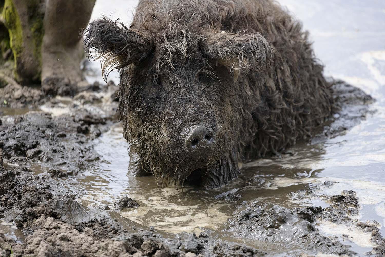 Ein Mangalitza Schwein suhlt im Wasser.