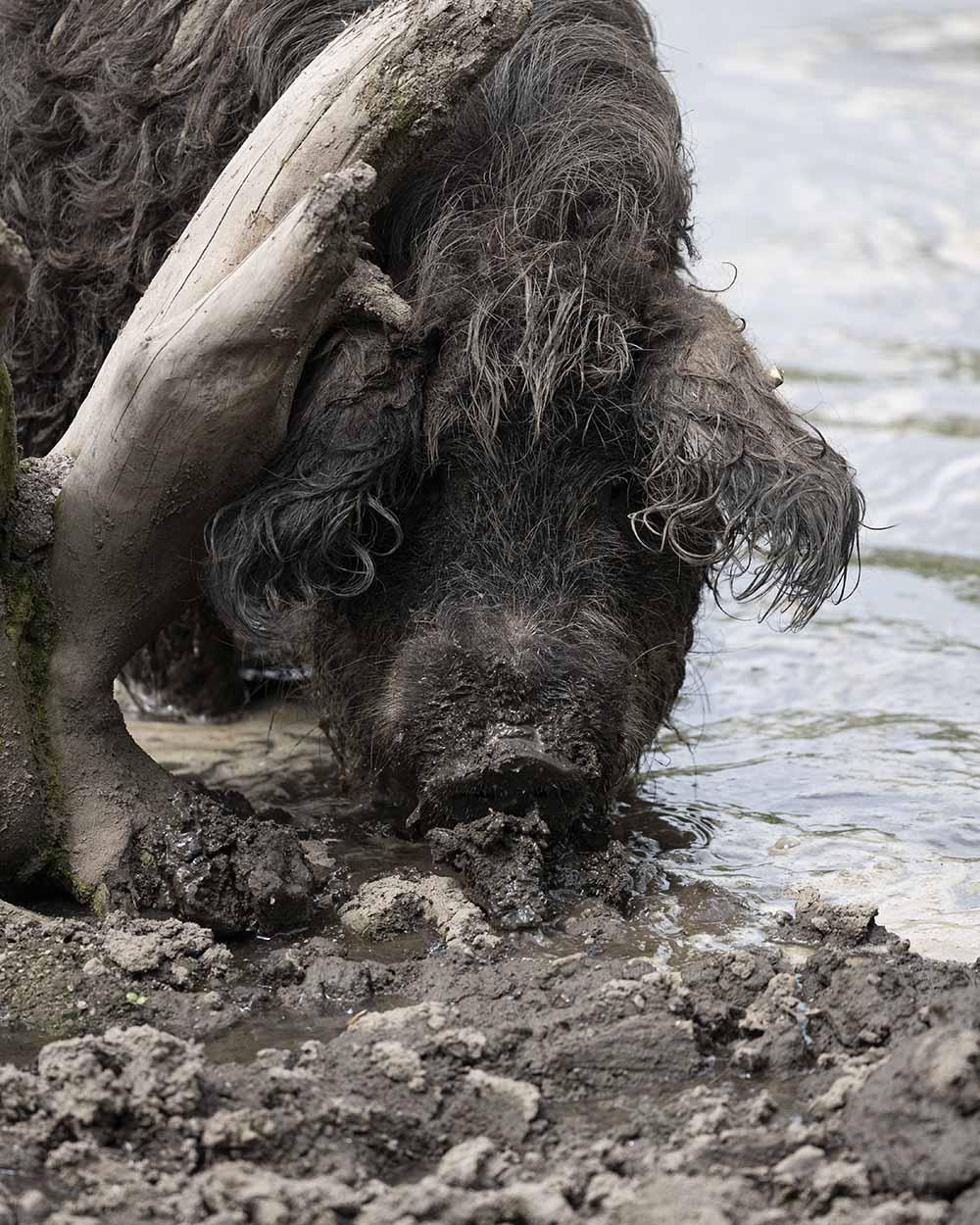 Ein Mangalitza Schwei suhlt im Tierpark Arche Warder im Wasser.